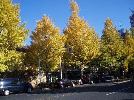 Ginkgo Bäume in der Nähe unserer Wohnung vor ca. drei Wochen
